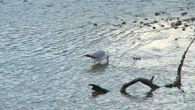 趟过在低潮附近的海鸥 股票视频