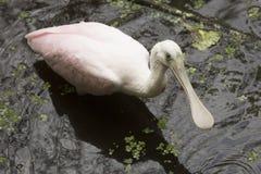 趟过在佛罗里达沼泽地的可爱的未成熟的篦鹭 免版税库存照片