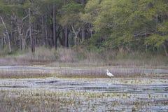 趟过在南卡罗来纳沼泽的伟大的白鹭 图库摄影