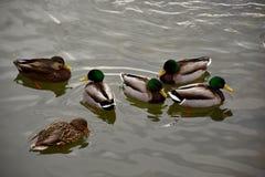 趟过在寒冷水域中的野鸭鸭子 免版税库存照片