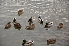 趟过在寒冷水域中的野鸭鸭子 免版税库存图片