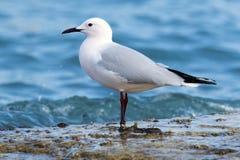 趟过在岸的海鸥 库存照片
