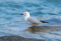趟过在岸的海鸥 免版税图库摄影