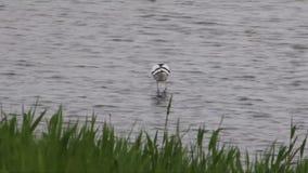 趟过在水中和搜寻食物的长嘴上弯的长脚鸟 股票视频