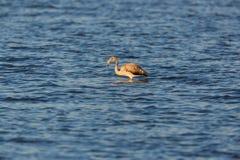 趟过在水中的少年更加巨大的火鸟phoenicopterus ruber 免版税库存照片