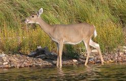 趟过在水中的白尾鹿母鹿 免版税库存图片