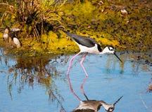 趟过在水中的黑收缩的高跷鸟搜寻食物 库存图片