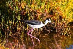 趟过在水中的黑收缩的高跷鸟搜寻食物 免版税图库摄影