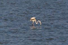 趟过在水搜寻的更加巨大的火鸟phoenicopterus ruber 免版税库存图片