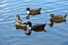 趟过在水背景的鸭子 免版税库存照片