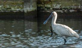 趟过在池塘的皇家篦鹭Platalea regia 免版税库存照片