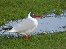 趟过在沼泽地河池塘的燕鸥 库存图片