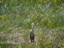 趟过在沼泽的苍鹭 免版税图库摄影