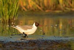 趟过在泥的黑带头的鸥(鸥属ridibundus) 免版税库存照片