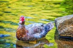 趟过在浅水区的俄国鸭子 免版税库存图片