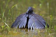 趟过在浅水区的黑色苍鹭 库存照片