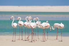 趟过在浅盐水湖的火鸟群浇灌 库存图片
