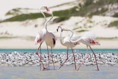 趟过在浅盐水湖的火鸟群浇灌 库存照片