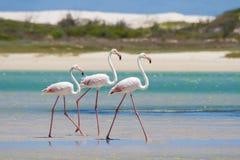趟过在浅盐水湖的火鸟群浇灌 免版税库存照片
