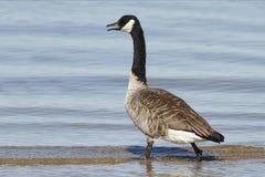 趟过在浅水区的加拿大鹅 免版税库存图片