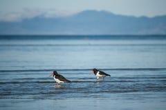 趟过在浅水区的蛎鹬 免版税库存照片
