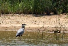 趟过在湖的伟大蓝色的苍鹭的巢 免版税库存照片