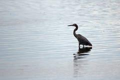 趟过在自然保护区盐水湖中微咸的水域的带红色白鹭在圣何塞del Cabo在下加利福尼亚州墨西哥 免版税库存照片