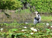 趟过在荷花的伟大蓝色的苍鹭的巢 免版税库存照片