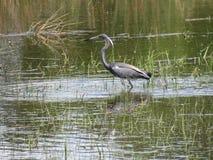 趟过在象草的shallows的典雅的三色的苍鹭 图库摄影
