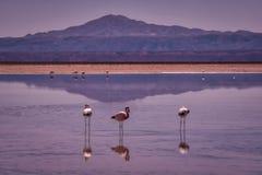 趟过在阿塔卡马高原公园,智利的桃红色火鸟 免版税库存图片