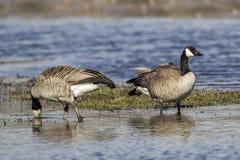 趟过在水中的两只鹅 图库摄影