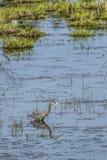 趟过在水中的伟大蓝色的苍鹭的巢 免版税库存图片