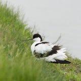 趟过在水中的染色长嘴上弯的长脚鸟 免版税图库摄影
