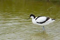 趟过在水中的染色长嘴上弯的长脚鸟 库存图片