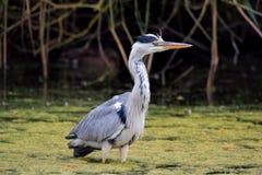 趟过在水中的灰色苍鹭鸟 灰质的Ardea 库存图片