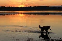 趟过在水中的金毛猎犬 免版税图库摄影