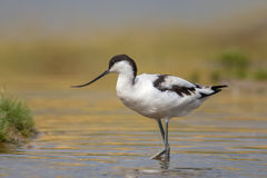 趟过在水中的长嘴上弯的长脚鸟 库存照片