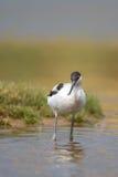 趟过在水中的长嘴上弯的长脚鸟 库存图片