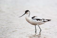 趟过在水中的长嘴上弯的长脚鸟 免版税库存图片