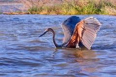 趟过在巴林戈湖的巨人苍鹭 免版税库存图片