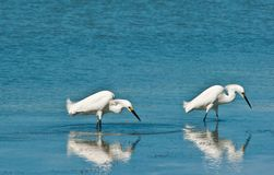 趟过寻找食物的两只白鹭 免版税库存照片