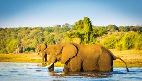 趟过横跨Chobe河博茨瓦纳的大象 免版税库存照片
