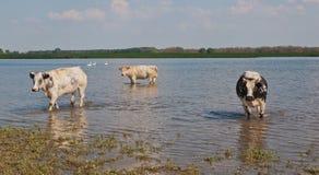 趟过水的母牛 库存图片
