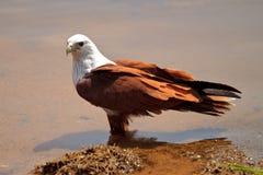 趟过水的老鹰 免版税库存照片