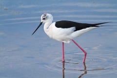 趟过水的鸟 免版税图库摄影