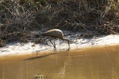 趟过沿运河的Limpkin在湖Kissimmee公园,佛罗里达 库存图片