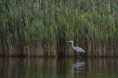 趟过由芦苇的伟大蓝色的苍鹭的巢在黄昏 免版税库存照片