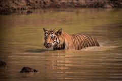 趟过通过泥泞的水坑的孟加拉老虎 库存照片