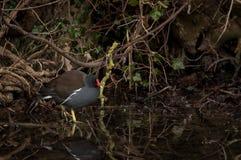 趟过通过浅水区的雌红松鸡 库存照片