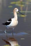 趟过通过浅水区的美国长嘴上弯的长脚鸟 免版税库存照片